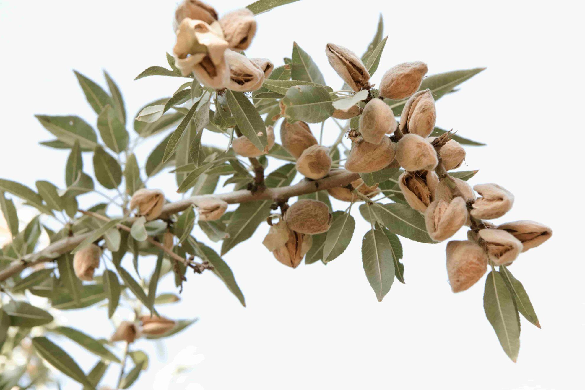 Almond (1)