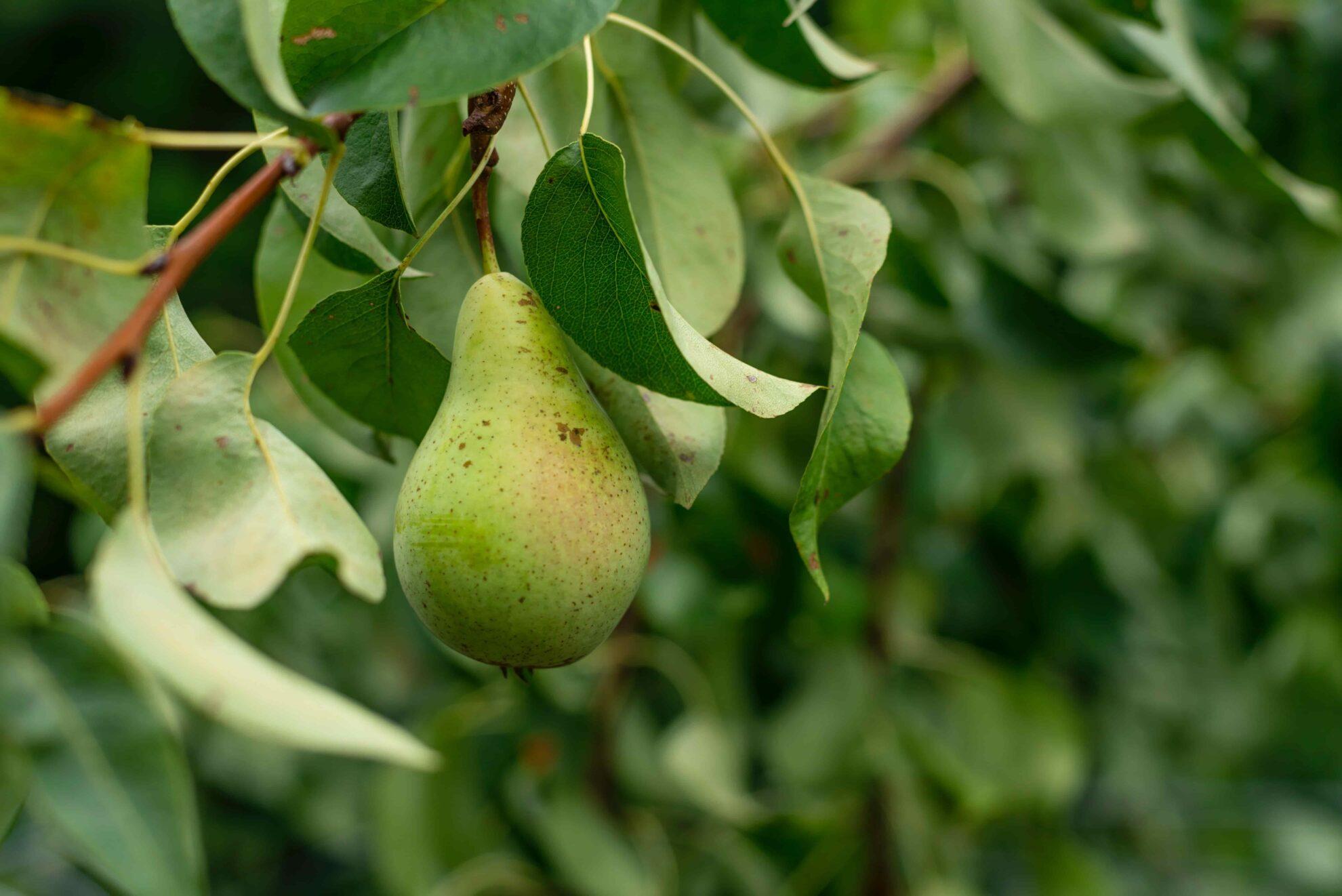Pears_Pear_Tree