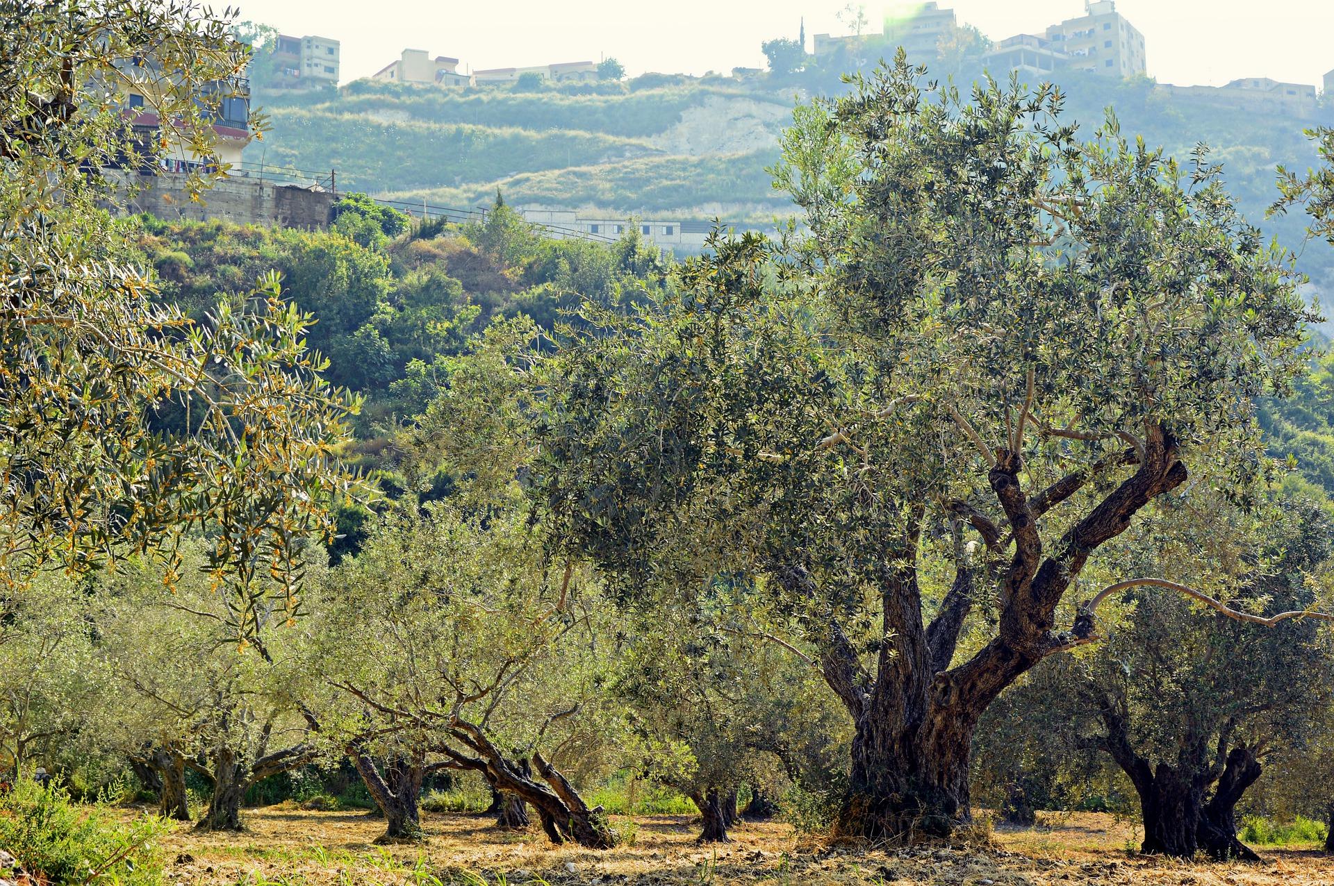 olive-trees-4253749_1920