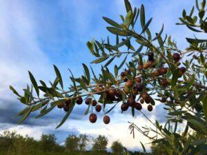 oliveCEPT Corsica